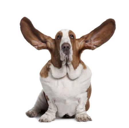 Basset Hound avec des oreilles up, 2 ans, assis en face de fond blanc