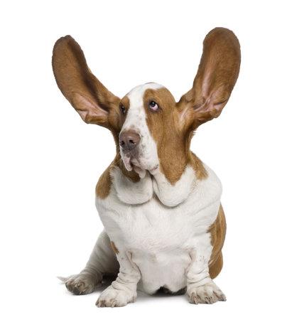 personas escuchando: Basset Hound con orejas hasta 2 a�os de edad, sentado delante de fondo blanco Foto de archivo