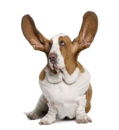 listening to people: Basset Hound with ears up, 2 years old, sitting in front of white background