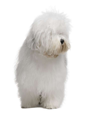 old english: Old English Sheepdog, 3 Years old, standing in front of white background Stock Photo