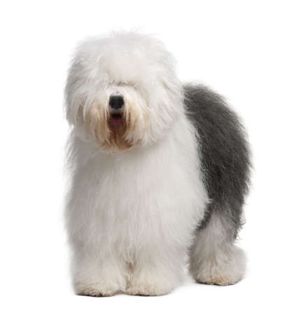 sheepdog: Old English Sheepdog, 3 Years old, standing in front of white background Stock Photo