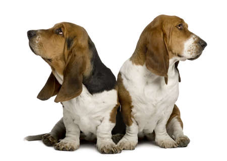 full length mirror: Two sulking Basset Hounds sitting in front of white background Stock Photo