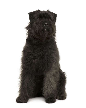 1 year old: Bouvier des Flandres dog, 1 year old, sitting in front of white background Stock Photo