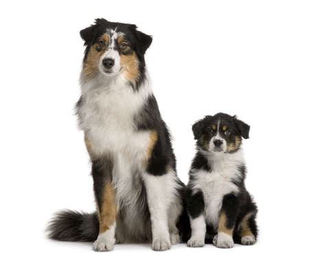 Two Australian Shepherd dogs, 1 year old and a puppy of 8 weeks old, sitting in front of white background photo