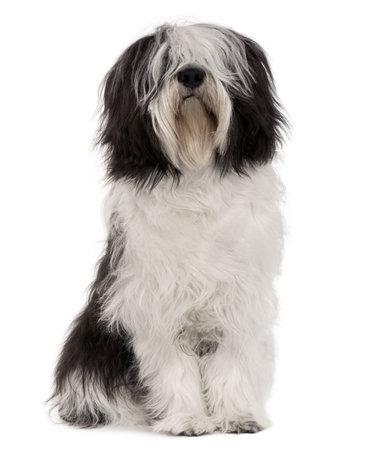 furry animals: Polacco Vallee, 10 mesi di et�, seduto davanti a sfondo bianco