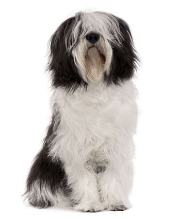 sheepdog: Polish Lowland Sheepdog, 10 months old, sitting in front of white background Stock Photo