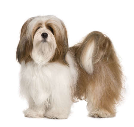 Lhasa apso, 1 year old, standing in front of white background photo