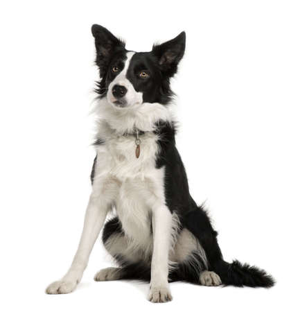 1 year old: Border Collie, 1 year old, sitting in front of white background