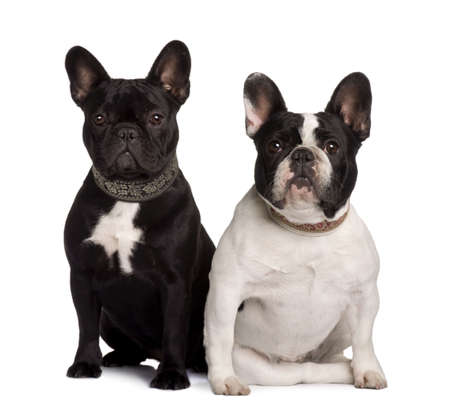 Two French Bulldogs, 2 years old and 11 months old, sitting in front of white background Stock Photo - 6378702