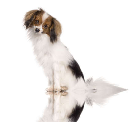 Pappillon dog, 2 years old, sitting in front of white background Stock Photo - 6379106