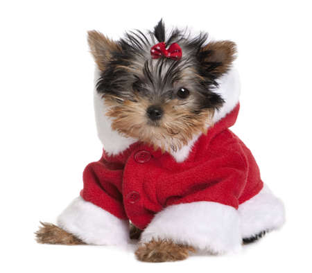 yorkshire terrier: Portrait of puppy Yorkshire Terrier, 10 months old, dressed in Santa coat in front of white background Stock Photo