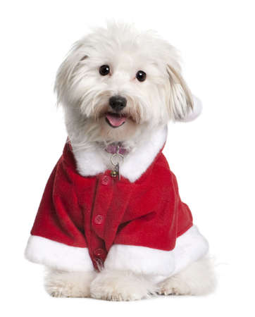 santa suit: Coton de tulear dog in Santa suit, 1 year old, sitting in front of white background