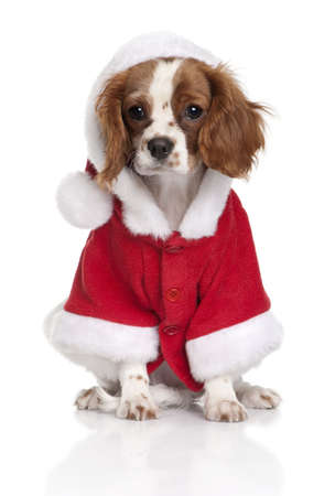 cavalier king charles spaniel: Portrait of puppy Cavalier King Charles Spaniel, 4 months old, dressed in Santa coat in front of white background
