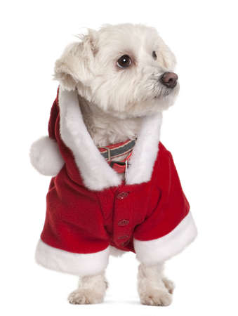 Maltese dog in Santa Claus suit, 3 years old, standing in front of white background photo