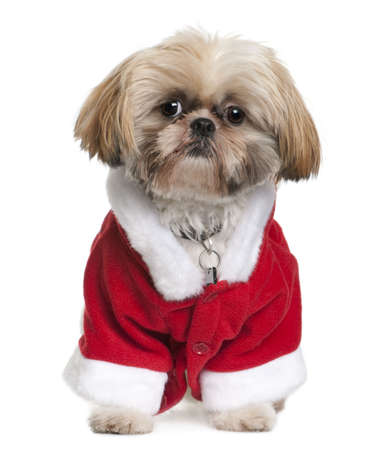 Shi-Tzu in Santa Claus suit, 3 years old, sitting in front of white background Stock Photo - 6377656