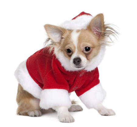 Chihuahua puppy in Santa Claus suit, 7 months old, standing in front of white background photo