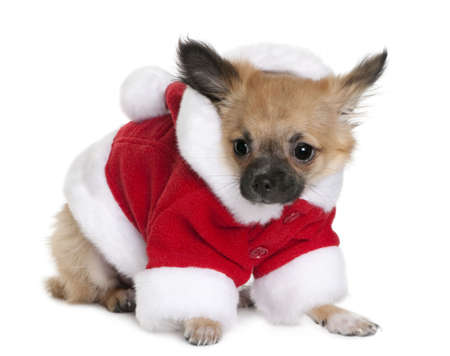 Chihuahua puppy in Santa Claus suit, 4 months old, standing in front of white background photo