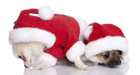 Two Chihuahua puppies in Santa Claus suits, 7 months old, sitting in front of white background photo