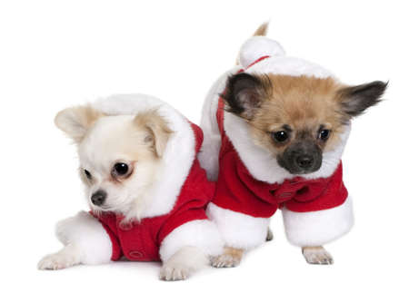 chihuahua pup: Two Chihuahua puppies in Santa Claus suits, 7 months old, sitting in front of white background