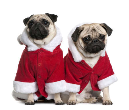 1 2 years: Portrait of two Pugs, 1 and 2 years old, dressed in Santa coat in front of white background