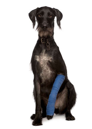lurcher: Lurcher, 3 years old, with arm cast sitting in front of white background, studio shot Stock Photo