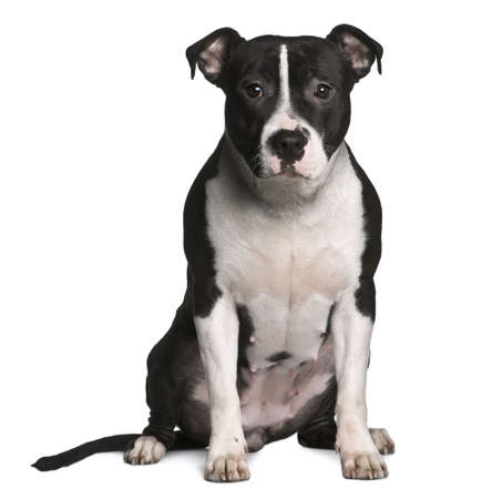 american staffordshire terrier: American Staffordshire terrier, 11 months old, sitting in front of white background