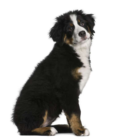 Bernese mountain dog Puppy, 5 months old, sitting in front of white background photo
