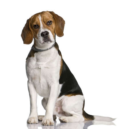 Beagle, 1 year old, sitting in front of white background Stock Photo - 6379125