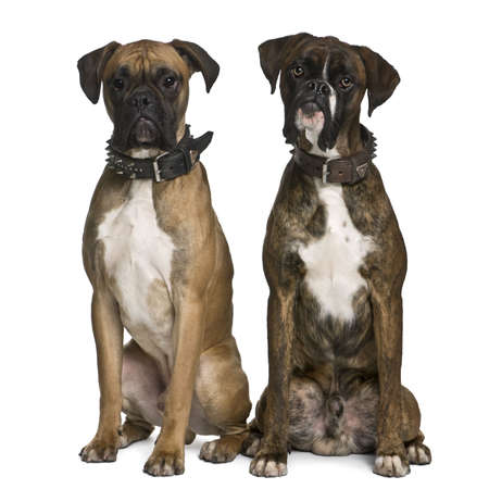 1 year old: Two Boxer dogs, 1 year old, sitting in front of white background