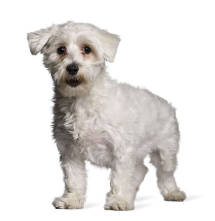 Maltese dog, 1 year old, standing in front of white background photo