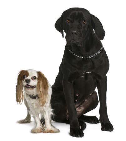 Cane corso and Cavalier king Charles dogs sitting in front of white background photo
