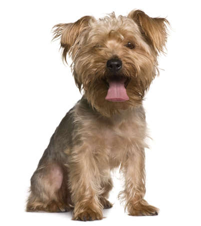 Yorkshire terrier, 3 years old, sitting in front of white background Stock Photo - 6377804