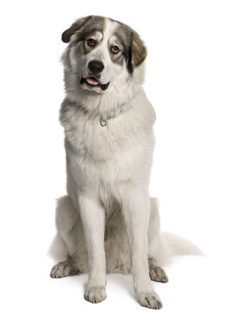 great pyrenees: Pyrenean Mountain Dog, known as the Great Pyrenees, 8 months old, sitting in front of white background