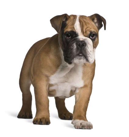 English bulldog puppy, 4 months old, standing in front of white background Stock Photo - 6379349