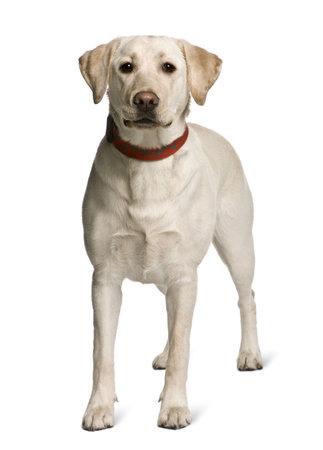 white collar: Labrador standing in front of white background, studio shot