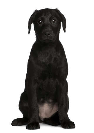 Labrador puppy, 3 months old, sitting in front of white background photo