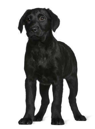 Labrador puppy, 3 months old, standing in front of white background photo