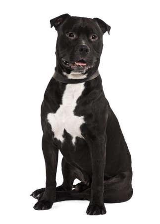 Staffordshire bull terrier, 4 years old, sitting in front of white background photo