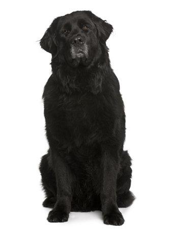 cane terranova: Cane Newfoundland, 6 anni di et�, seduto davanti a fondo bianco Archivio Fotografico