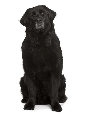 Newfoundland dog, 6 years old, sitting in front of white background Stock Photo - 7103944