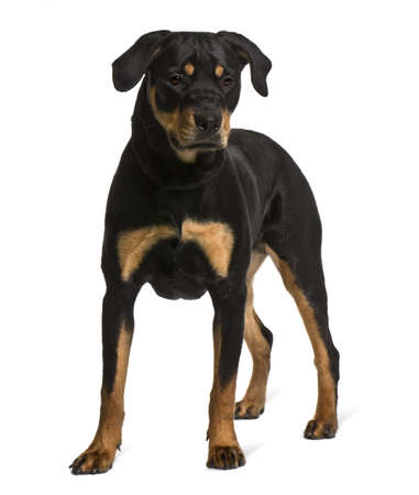 Rottweiler, 7 months old, standing in front of white background Stock Photo - 7103937