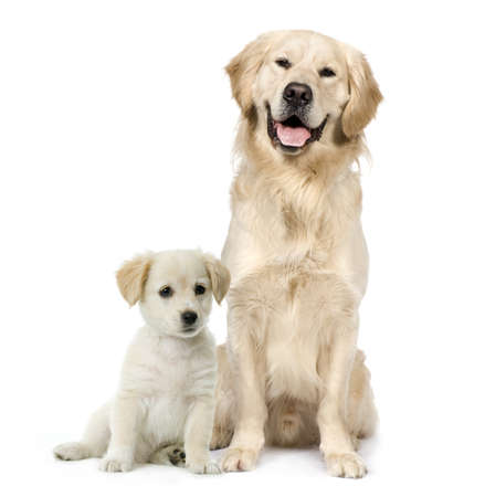 large dog: Golden Retriever and a Labrador puppy sitting in front of white background
