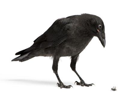 corvini: Young Corvus guardando verso il basso una mosca morta