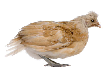 polish chicken: Polish Chicken, 36 days old, standing in front of white background Stock Photo
