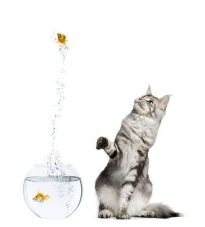 escaping: Cat watching goldfish leaping out of goldfish bowl against white background