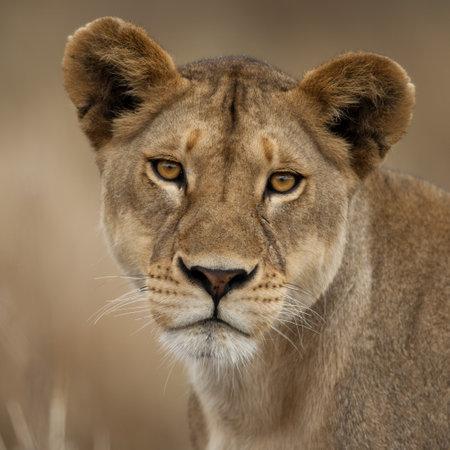 Close-up portrait of Serengeti National Park, Serengeti, Tanzania, Africa Stock Photo - 7121653