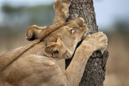 Lioness sharpening teeth on tree, Serengeti National Park, Serengeti, Tanzania, Africa photo