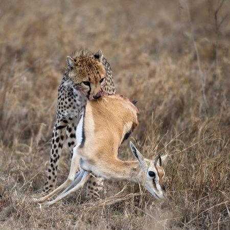 Cheetah carrying prey, Serengeti National Park, Tanzania, Africa photo