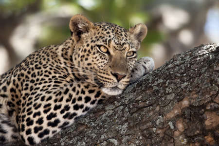 tanzania: Close-up of a leopard lying in branch of tree