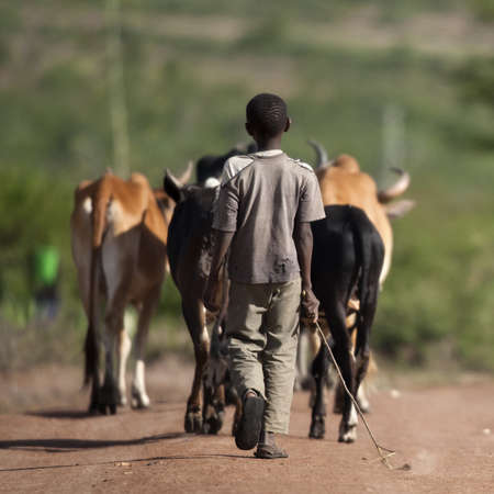 tanzania: Rear view of boy with herd of cattle, Serengeti National Park, Serengeti, Tanzania, Africa